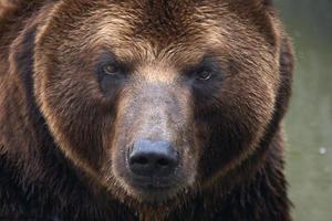 A close up photograph of a brown bear face