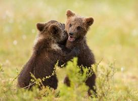 Euraziatische bruine beer (ursos arctos) welpen