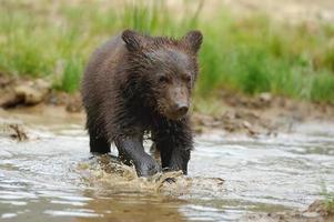 cachorro de oso pardo foto