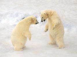Polar bears Cub playing