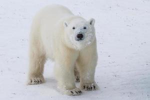 curious teenage polar bear