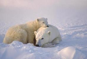 Polar bear with her cub in the Canadian Arctic.