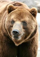 kamchatka oso pardo foto
