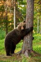oso pardo apoyado contra un árbol foto