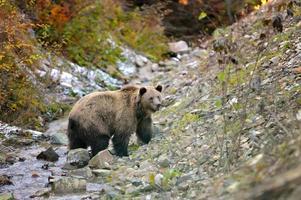 oso pardo en el bosque foto