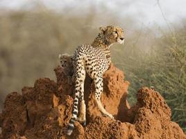 volwassen vrouwelijke cheetah (acinonyx jubatus) met welp op termietenheuvel