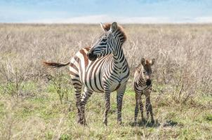 Zebe and foal