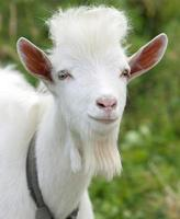 Pet Goat photo