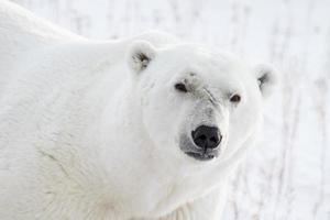 polar bear portrait and scars