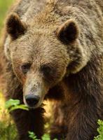 retrato de oso pardo foto