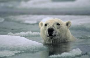 An adult polar bear swimming between icebergs