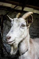 Country goat posing in barn