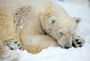 Sleepeng polar bear.