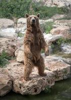 Syrian brown bear standing on the rear feet
