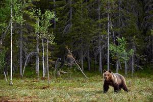 oso pardo en un páramo finlandés