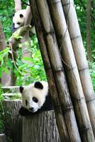 Baby giant panda photo