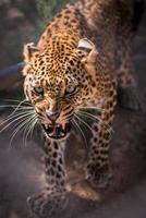 guepardo enojado foto