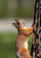 The squirrel rises