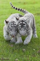Tigre blanco. foto