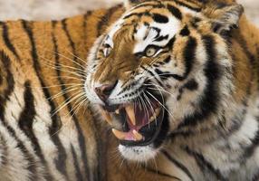 Roaring tiger photo
