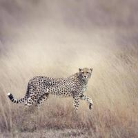 guepardo caminando