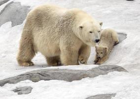 oso polar con cachorro foto