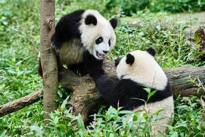 two Panda bears cubs playing Sichuan China photo