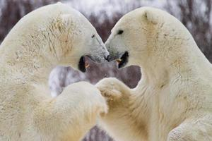 golpe de puño de oso polar foto