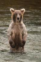 oso de pie sobre las patas traseras en el río