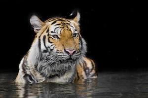 Tiger Sumatran photo