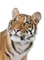 Close-up portrait of Bengal tiger against white background