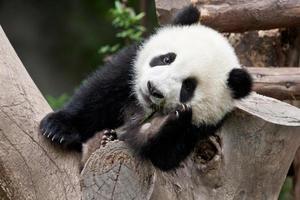 joven panda curioso en un árbol foto