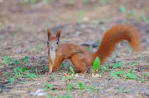 European red squirrel - autumn coloration