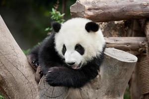 Baby Panda Posing for the Camera photo