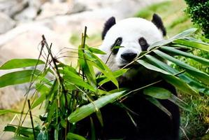 The giant panda is eating bamboo