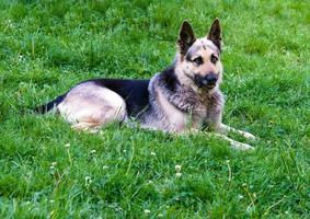 German shepherd right side.