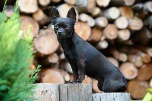 Retrato de perro chihuahua negro foto