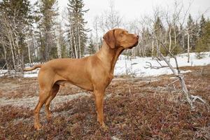 vizsla dog  in nature