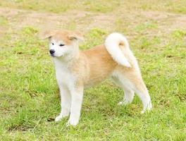 Akita Inu photo