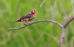Bird name is Red Avadavat
