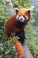 Amazing orange panda photo