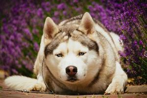 Portrait of a Siberian Husky.