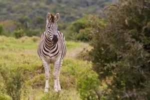 Zebra standing close to a thorn bush