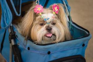 Shih tzu dog lying in stroller