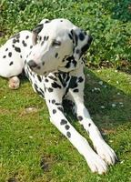 Dalmatian lying down in garden setting