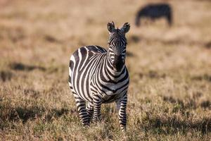 African plains zebra on the dry brown savannah grasslands browsing