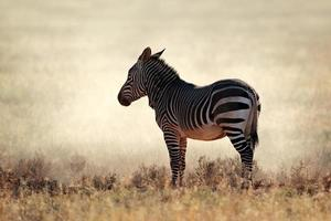 Mountain Zebra in dust photo