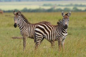 Young Zebras in Kenya