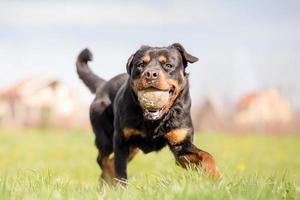 Rottweiler jugando a buscar en el parque foto