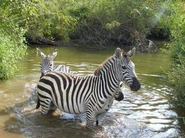 cebras en el parque de juegos de kenia foto